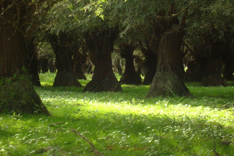 treegiants